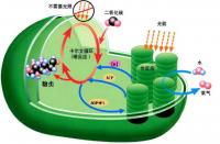 科技资讯看点:破解光合作用过程使植物能够分解wat